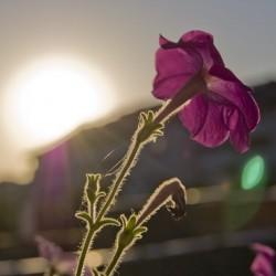Florile au nevoie de răcoarea nopţii